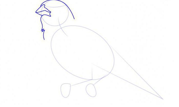 come disegnare un'allodola in più fasi
