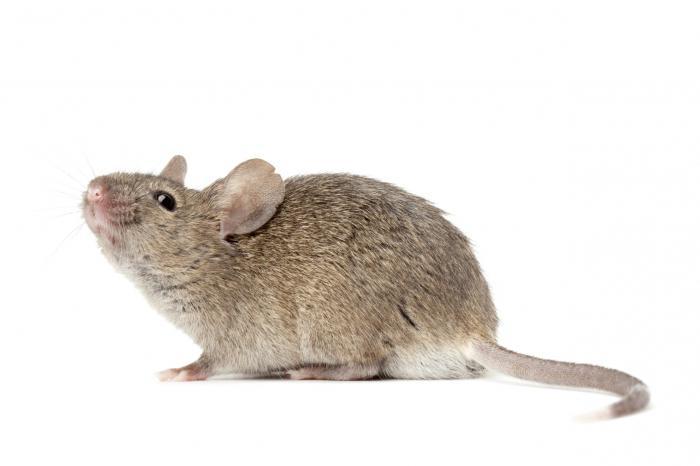 kako nacrtati miša