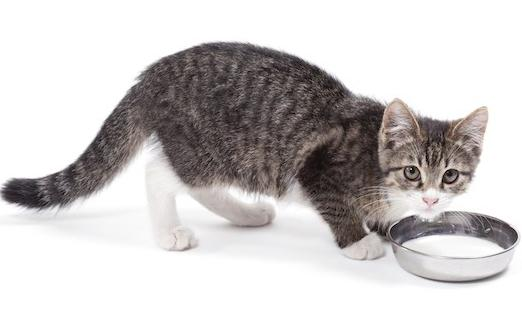 quante volte nutrire un gatto che si nutre