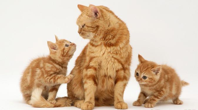 cosa dare da mangiare a un gatto inglese che si nutre
