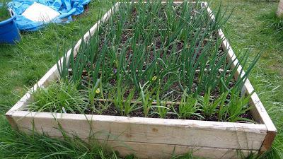 come far crescere un buon raccolto d'aglio