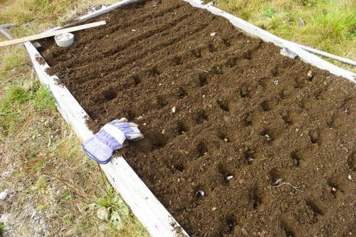 come far crescere i bulbi d'aglio