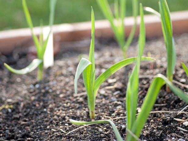 come far crescere l'aglio primaverile