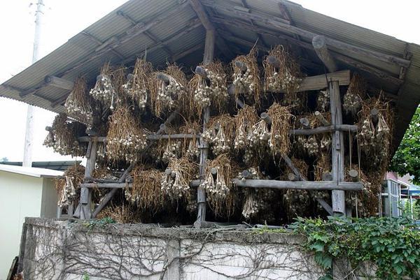 come far crescere l'aglio invernale