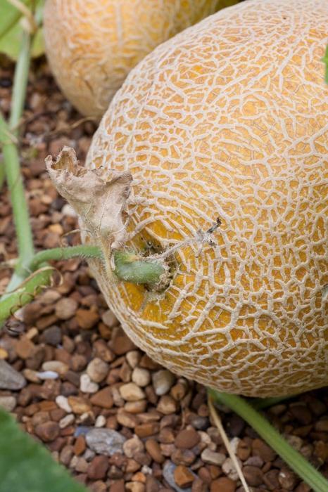 come far crescere angurie e meloni
