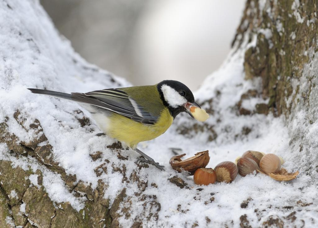 Птице воле жиреве и орахе