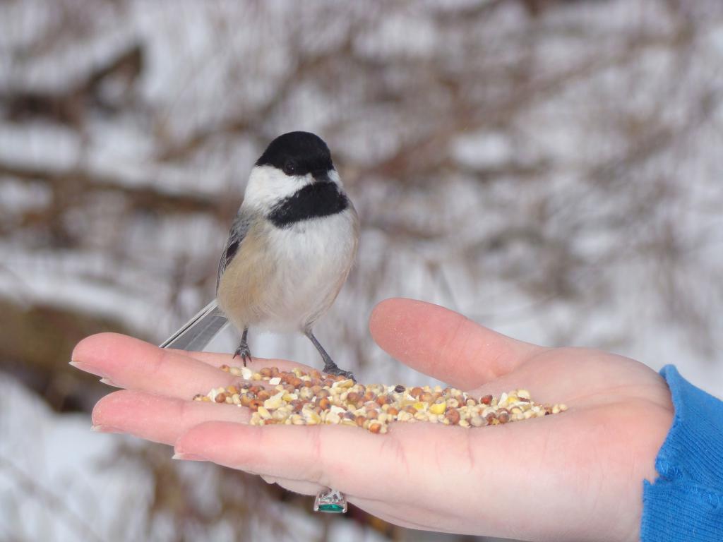 Храњење птице из руке