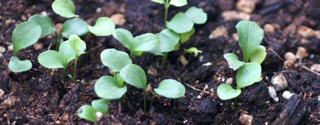 Clematide dai semi.