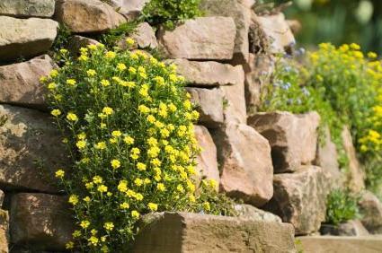 fiori perenni stentati