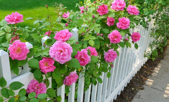как да засадят розови резници