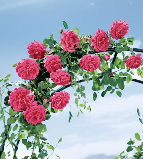 как да засадите розите през есента