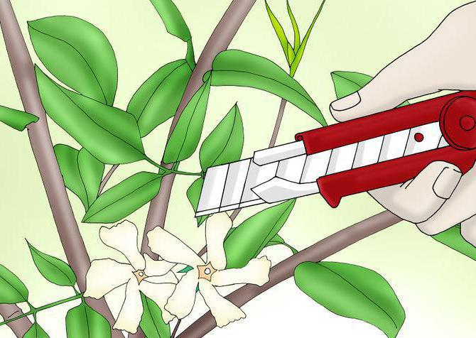kako propagirati reznice jasmina