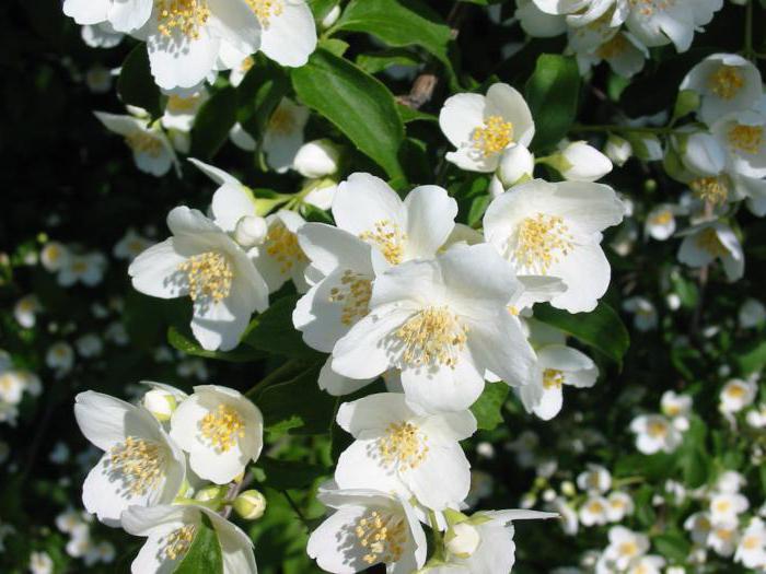 kako ljeti razmnožavati reznice jasmina