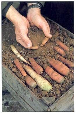kako pohraniti mrkvu za zimu