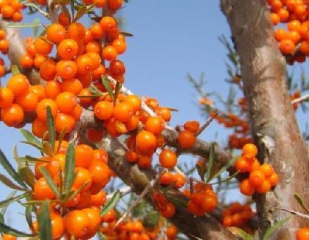 olio per i capelli di olivello spinoso