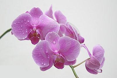 как да напоявате орхидеи у дома