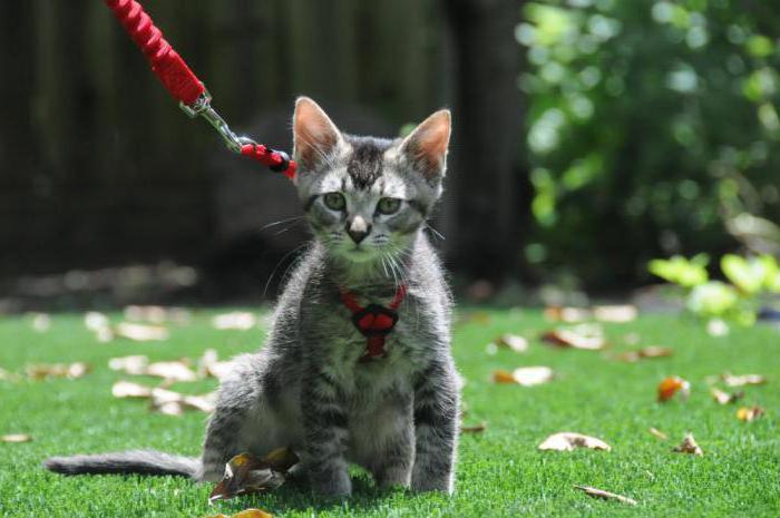 Jak na kočku nasadit kaskádní postroj