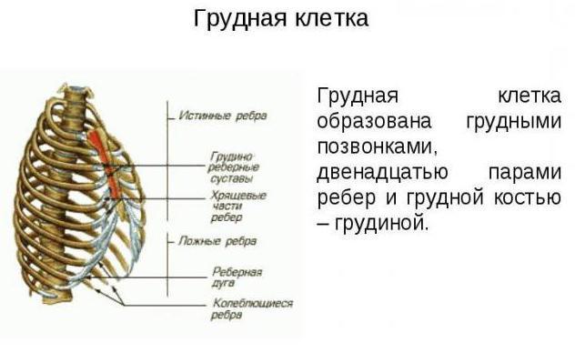 Prvog prsnog kralješka