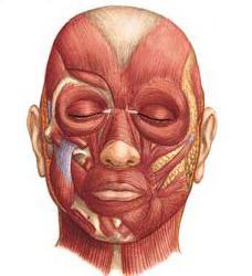 anatomia dei muscoli della testa