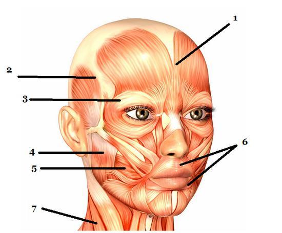 funzione muscolare della testa