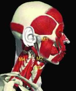 muscolo della testa