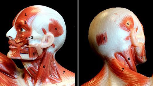 muscoli della testa umana