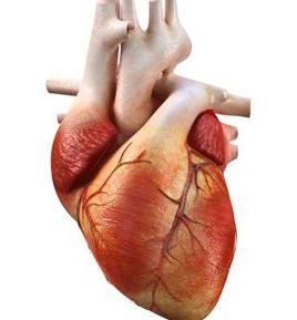 caratteristiche del muscolo cardiaco