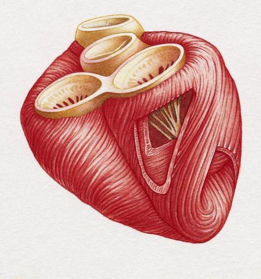 rafforzamento del muscolo cardiaco