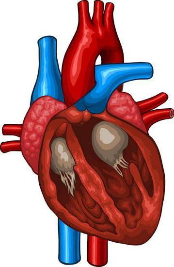 lavoro del muscolo cardiaco