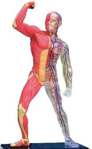 raspored unutarnjih organa