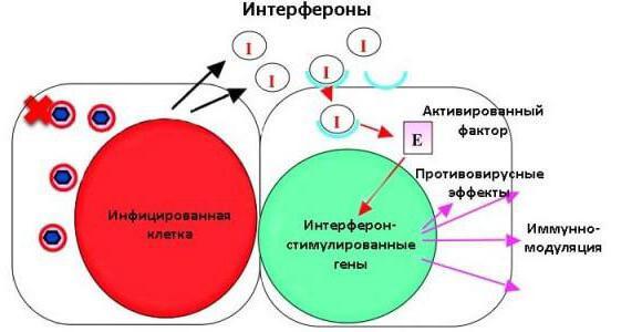 Istruzioni per l'uso dei leucociti umani di interferone