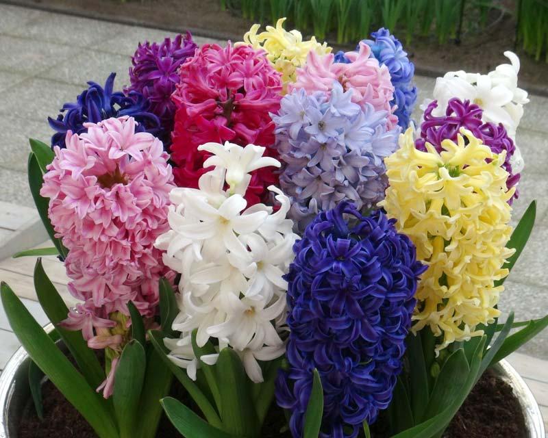Hyacint brst mešati