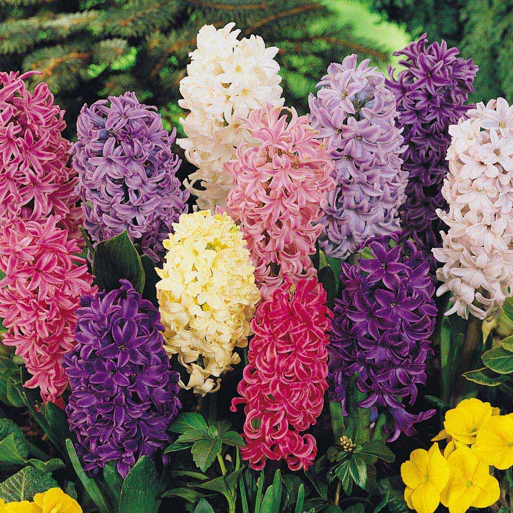 цветя с зюмбюл