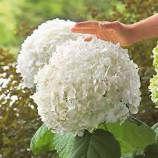 ], hydrangea treelike grandiflora semina e cura