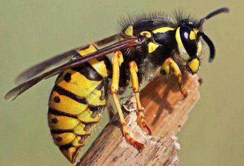 žuželke čebel