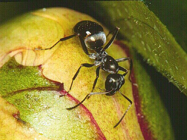 Hymenoptera mravlje