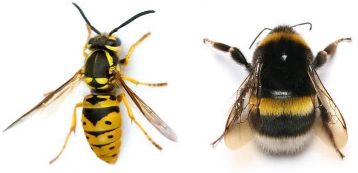 značilnosti Hymenoptera
