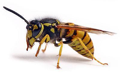 himenoptera