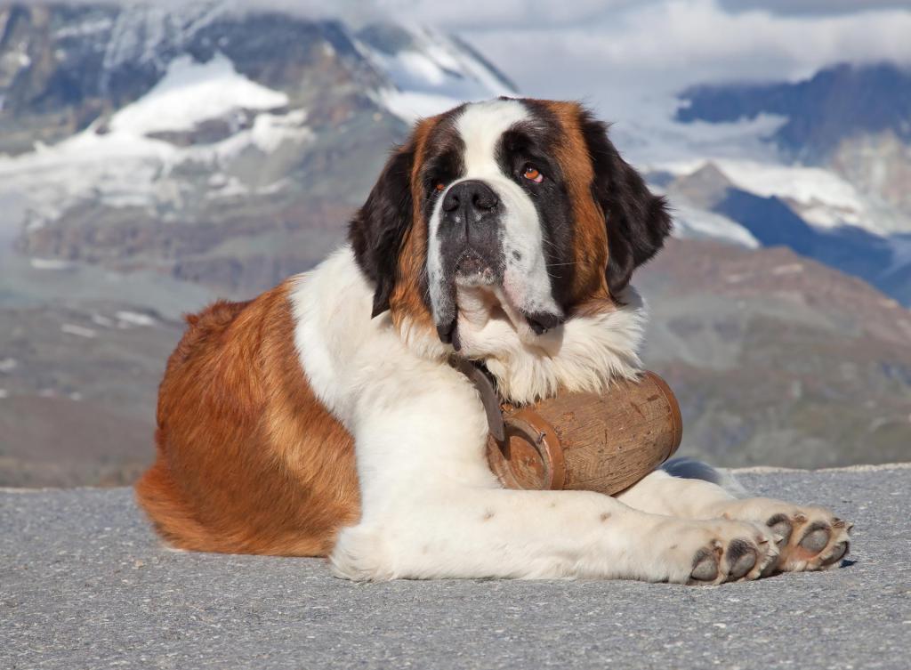 San Bernardo, grosso cane