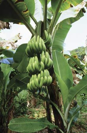 kako rastejo banane?