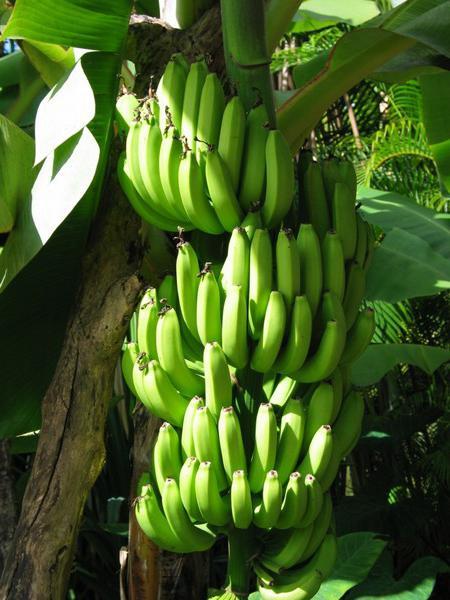 v katerih države gojijo banane
