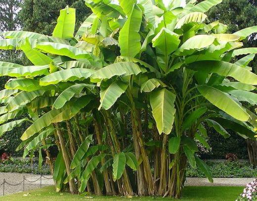 kaj rastejo banane