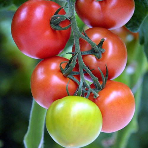неопределен сорт домати