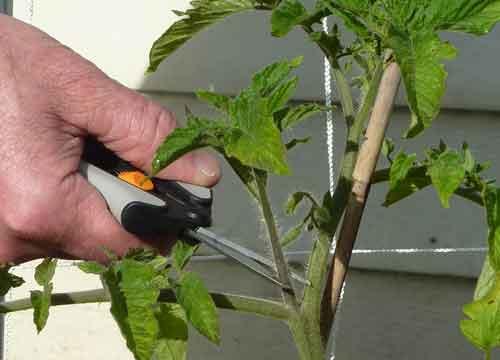 Грижи се за неопределителни домати