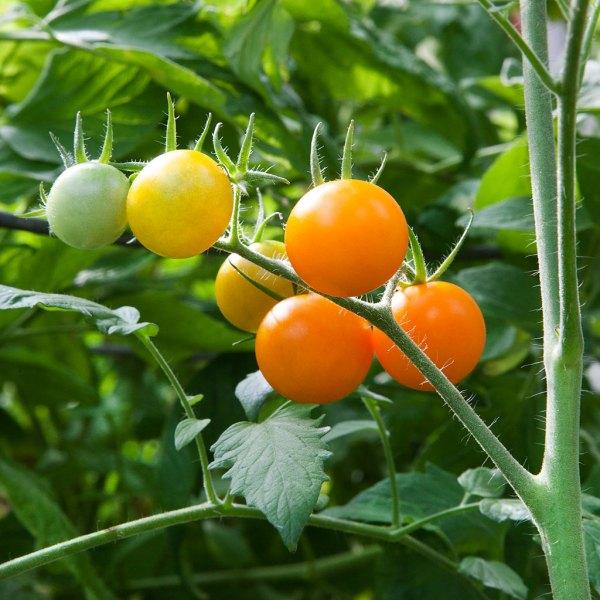 Неопределени домати