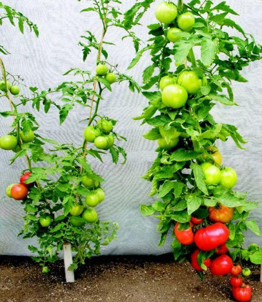 Образуване на храст от неопределени домати