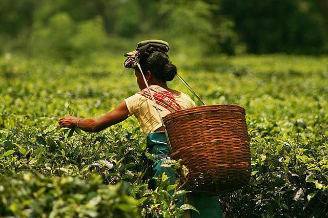 индийски чай от Асам