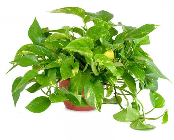 цъфтящи растения