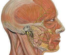 лицевия нерв