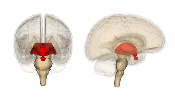 struttura cerebrale intermedia